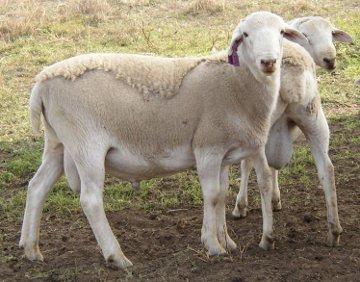 Shedding Sheep Breeds